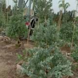 福建银叶金合欢苗种植基地、银叶金合欢一手批发、福建银叶金合欢苗供应商