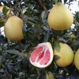 简阳市柚子苗种植基地 柚子苗批发 四川柚子苗供货商