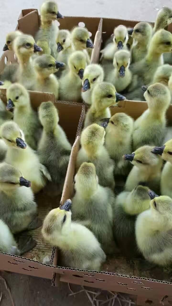 广西狮头鹅苗基地批发价供应商哪里有多少钱