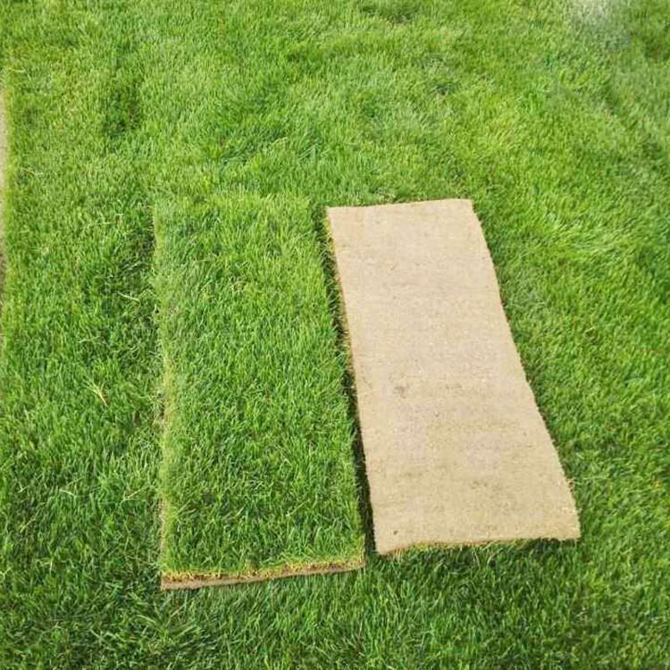 冷季型多年生草坪 护坡别墅用草坪 运动场专用草坪 冷季型草坪