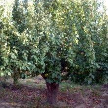 哪里有八棱海棠树卖,精品八棱海棠树来自怀来绿源海棠苗木基地