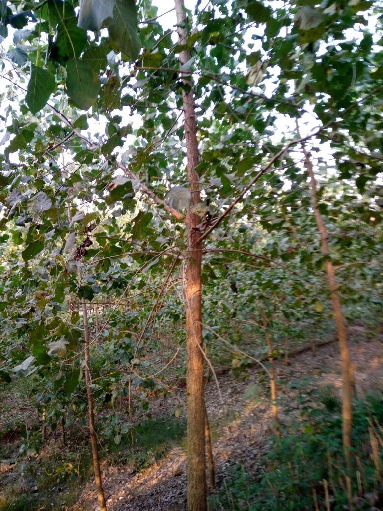 南县杨树种植基地-杨树价格-销售