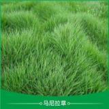 廣東肇慶溝葉結縷草皮草卷培育基地直銷價格