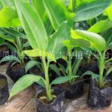 香蕉苗廠家生產采購批發價格多少錢一株
