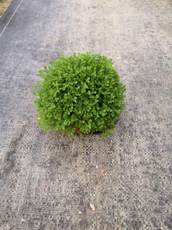 园林绿化美观80盆绿地球 室内美化绿地球盆栽 园林植物绿地球盆栽