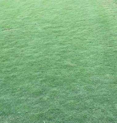马尼拉草坪图片/马尼拉草坪样板图 (2)