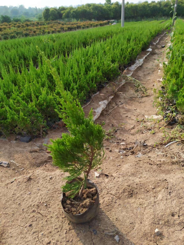 滁州市龙柏批发、价格、种植基地【安徽来安超华苗圃】
