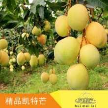 四川攀枝花凯特芒果销售、价格、电话13882346548批发