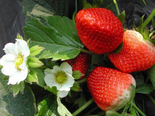 山东泰安草莓苗种植基地-批发多少钱-全国销售【泰安开发区博远园艺场】