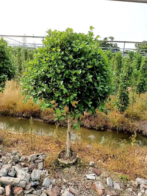 泰安黄榕基地 种植基地、批发价格、优质产地【严玉林(严清)花木场】