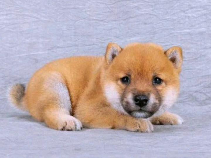 柴犬 幼犬真狗活物活体 幼犬纯种狗狗