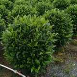 深圳鸭脚木20厘米-3.5米各规格种植基地、批发价格、优质产地【严玉林(严清)花木场】