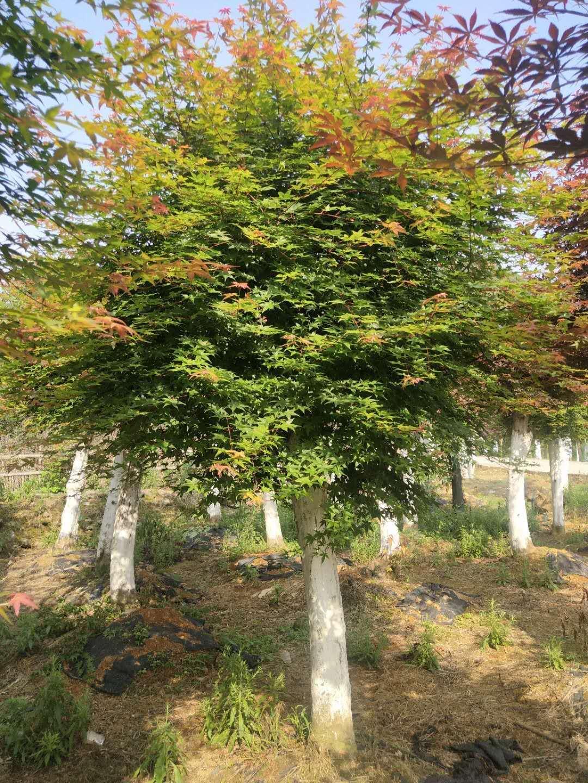 福建红枫种植基地-批发-价格-大量供应