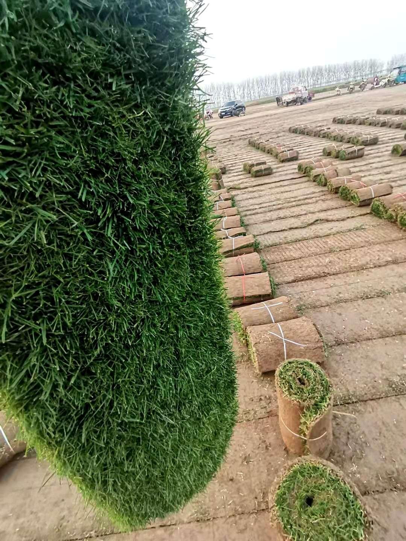 足球场草坪销售